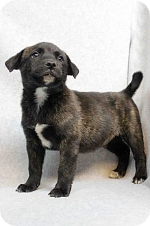 Border Collie/American Staffordshire Terrier Mix Puppy for adoption in Westminster, Colorado - Grayson