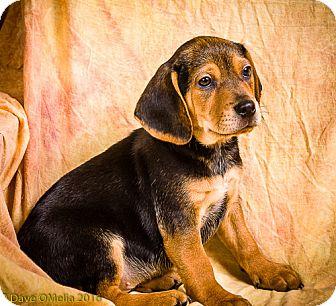 Basset Hound Mix Puppy for adoption in Anna, Illinois - TARIQ