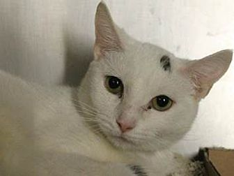 Domestic Shorthair Cat for adoption in NYC, New York - Snowflake