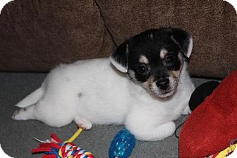 Chihuahua/Rat Terrier Mix Puppy for adoption in Grand Rapids, Michigan - Tinkerbell