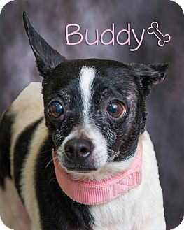 Chihuahua Mix Dog for adoption in Somerset, Pennsylvania - Buddy