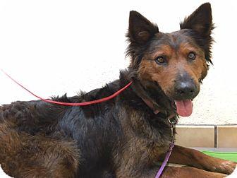 Belgian Shepherd/German Shepherd Dog Mix Dog for adoption in Santa Ana, California - Hatchi