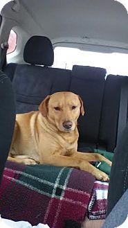 Labrador Retriever Mix Dog for adoption in Warsaw, Indiana - Denver