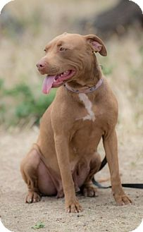 American Staffordshire Terrier Mix Dog for adoption in Poway, California - SANDY
