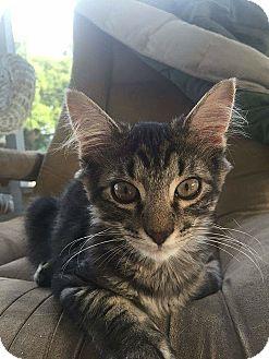 Domestic Shorthair Kitten for adoption in Tampa, Florida - Granite