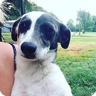 Jack Russell Terrier Mix Puppy for adoption in East Hartford, Connecticut - Teeter tot meet me 7/22