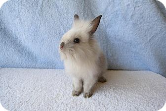 Lionhead Mix for adoption in Fountain Valley, California - Simba