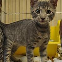 Domestic Shorthair/Domestic Shorthair Mix Cat for adoption in Pompano Beach, Florida - Chris 3