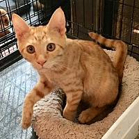 Domestic Shorthair Cat for adoption in Hammond, Louisiana - Jacques