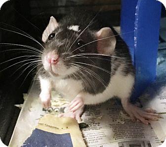 Rat for adoption in Edinburg, Pennsylvania - Yin and Yang