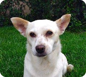 Chihuahua/Terrier (Unknown Type, Small) Mix Dog for adoption in pasadena, California - LULU