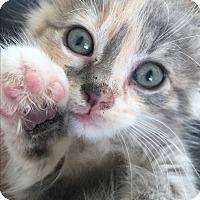 Adopt A Pet :: Sutton - Shelbyville, KY
