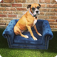 Boxer Dog for adoption in Fort Atkinson, Wisconsin - Paisley