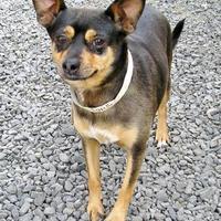 Adopt A Pet :: Fusilli - Medford, OR