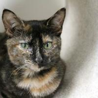 Adopt A Pet :: Portia - Brunswick, ME