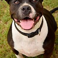 American Pit Bull Terrier Puppy for adoption in tucson, Arizona - Dakota