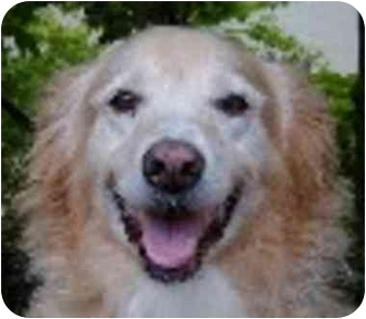 Golden Retriever Mix Dog for adoption in Eatontown, New Jersey - Winifred