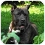 Photo 1 - Cane Corso Dog for adoption in New York, New York - Diamond- MD