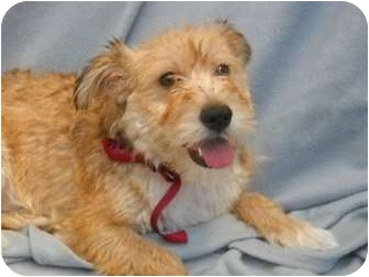 Cockapoo/Terrier (Unknown Type, Small) Mix Dog for adoption in Pasadena, California - BETSY