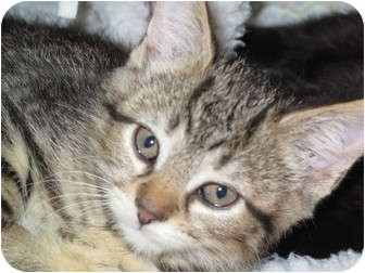 Domestic Shorthair Kitten for adoption in Port Republic, Maryland - Syrup