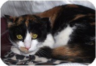 Domestic Shorthair Cat for adoption in El Cajon, California - Belle