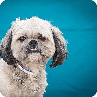 Shih Tzu Mix Dog for adoption in Las Vegas, Nevada - Gordon
