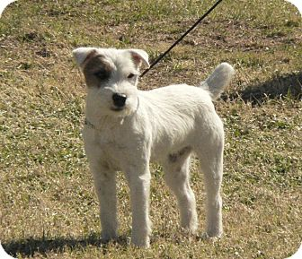Jack Russell Terrier Dog for adoption in Scottsdale, Arizona - LILLIE LANGTRY