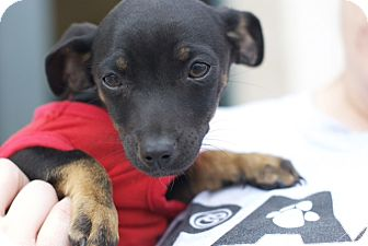 Terrier (Unknown Type, Small) Mix Puppy for adoption in Corpus Christi, Texas - Tumbleweed