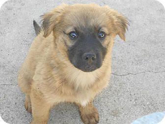 Golden Retriever/German Shepherd Dog Mix Puppy for adoption in Torrance, California - BECCA
