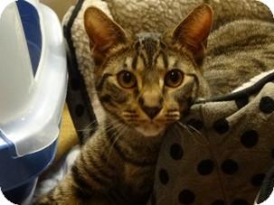 Domestic Shorthair Kitten for adoption in Diamond Bar, California - JASPER
