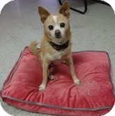 Chihuahua Mix Dog for adoption in Valley Village, California - BUTTER