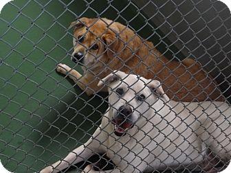 Labrador Retriever Mix Dog for adoption in Peachtree City, Georgia - Dumped?