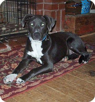 Labrador Retriever Mix Dog for adoption in CLARKSVILLE, Texas - SMOKEY