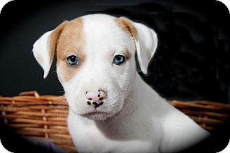 Pit Bull Terrier Mix Puppy for adoption in Lufkin, Texas - Ringo Star