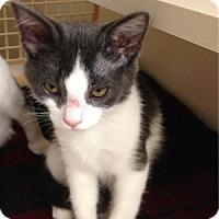 Adopt A Pet :: Ditka - Gilbert, AZ