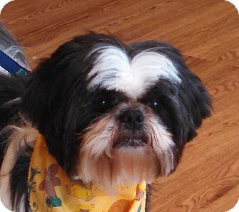 Shih Tzu Dog for adoption in Chicago, Illinois - Peyton