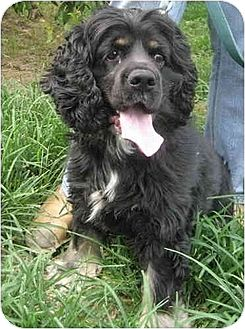 Cocker Spaniel Dog for adoption in Flushing, New York - Wallaby