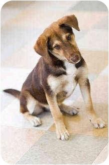 Australian Shepherd/German Shepherd Dog Mix Puppy for adoption in Portland, Oregon - Tia