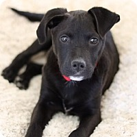 Adopt A Pet :: Shadow - Austin, TX