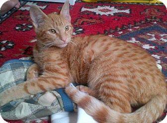 American Shorthair Cat for adoption in New York, New York - Lola
