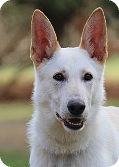 German Shepherd Dog Dog for adoption in Nashville, Tennessee - Kane