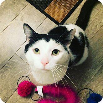 Domestic Shorthair Cat for adoption in Toronto, Ontario - Louis