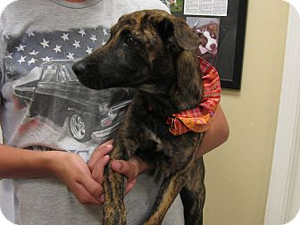 Catahoula Leopard Dog/Hound (Unknown Type) Mix Puppy for adoption in South Dennis, Massachusetts - Cher