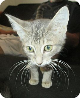 Domestic Shorthair Kitten for adoption in Mims, Florida - Nichols/Nicky
