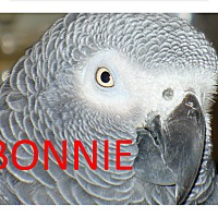 Adopt A Pet :: Bonnie –Boy  The African Grey - Vancouver, WA