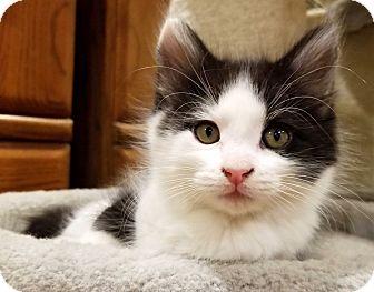 Domestic Longhair Kitten for adoption in Irvine, California - Matteo