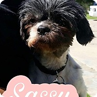 Shih Tzu Mix Dog for adoption in Thousand Oaks, California - Sassy