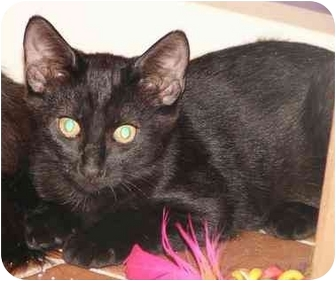 Domestic Shorthair Kitten for adoption in Laurel, Maryland - Mini Mommy and Screech