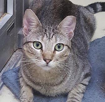 Domestic Shorthair Cat for adoption in Lago Vista, Texas - Eddie
