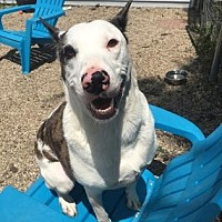 Adopt A Pet :: Tazo - Chicago Heights, IL